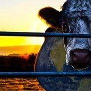 Cowspiracy will expand your perception of the modern meat industry