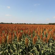 Why You Should Be Swapping Out Your Wheat Products With Sorghum