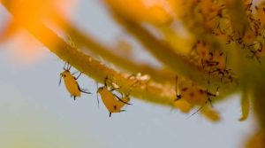 yellow-aphids