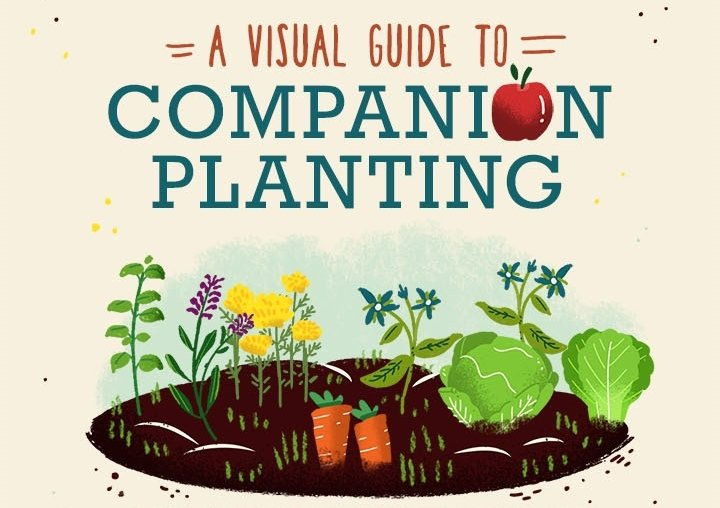 Companion planting in the garden: A visual guide & video