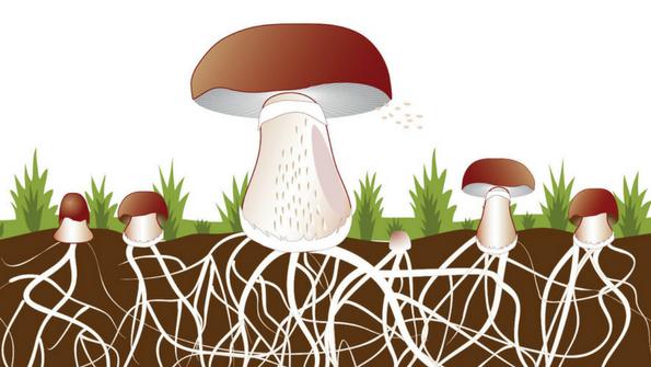 Medicinal mushroom supplements can offer health benefits